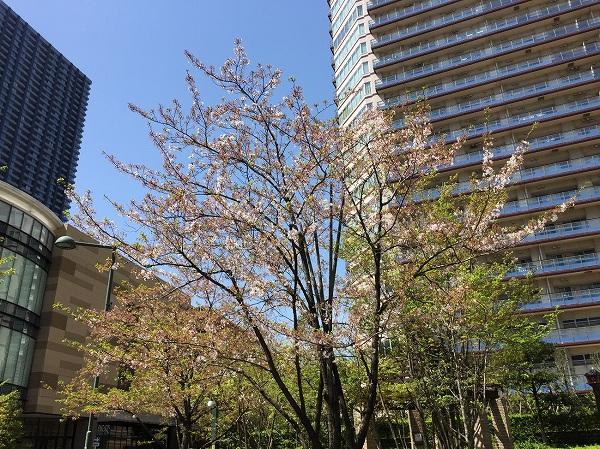 No276 桜のシーズンも終わりました